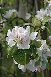 Summerland Apple (Malus 'Summerland') at Canadale Nurseries