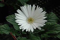 White Gerbera Daisy (Gerbera 'White') at Canadale Nurseries