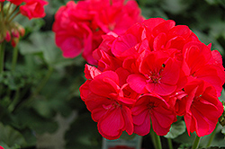 Maestro Cherry Geranium (Pelargonium 'Maestro Cherry') at Canadale Nurseries