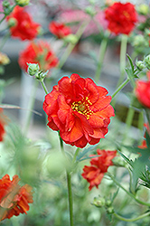 Blazing Sunset Avens (Geum 'Blazing Sunset') at Canadale Nurseries