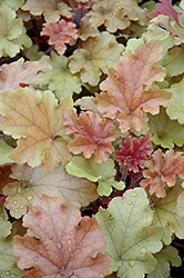 Marmalade Coral Bells (Heuchera 'Marmalade') at Canadale Nurseries