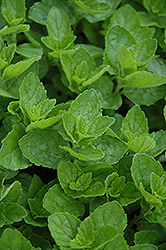 Spearmint (Mentha spicata) at Canadale Nurseries
