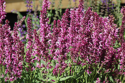 Pink Friesland Sage (Salvia nemorosa 'Pink Friesland') at Canadale Nurseries
