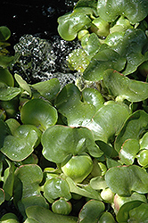 Water Hyacinth (Eichhornia crassipes) at Canadale Nurseries