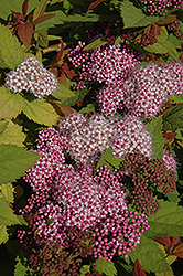 Double Play Big Bang® Spirea (Spiraea 'Tracy') at Canadale Nurseries