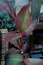 Black Knight Canna (Canna 'Black Knight') at Canadale Nurseries