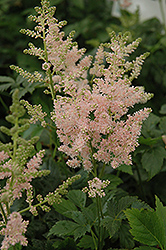 Apple Blossom Japanese Astilbe (Astilbe japonica 'Apple Blossom') at Canadale Nurseries