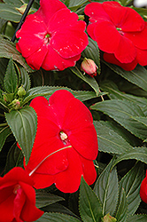 Sonic® Red New Guinea Impatiens (Impatiens 'Sonic Red') at Canadale Nurseries