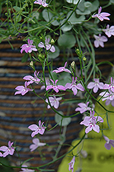 Laguna Heavenly Lilac Lobelia (Lobelia erinus 'Laguna Heavenly Lilac') at Canadale Nurseries