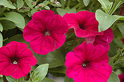 Sanguna Purple Petunia (Petunia 'Sanguna Purple') at Canadale Nurseries