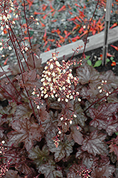 Midnight Bayou Coral Bells (Heuchera 'Midnight Bayou') at Canadale Nurseries