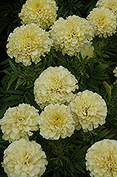 French Vanilla Marigold (Tagetes erecta 'French Vanilla') at Canadale Nurseries