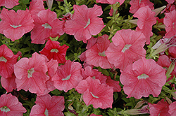 Dreams Salmon Petunia (Petunia 'Dreams Salmon') at Canadale Nurseries