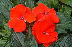 Magnum Fire New Guinea Impatiens (Impatiens 'Magnum Fire') at Canadale Nurseries