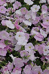 Wave Misty Lilac Petunia (Petunia 'Wave Misty Lilac') at Canadale Nurseries