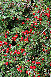 Cranberry Cotoneaster (Cotoneaster apiculatus) at Canadale Nurseries