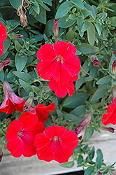 Surfinia® Red Petunia (Petunia 'Surfinia Red') at Canadale Nurseries