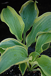 Seducer Hosta (Hosta 'Seducer') at Canadale Nurseries