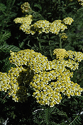 Sunny Seduction Yarrow (Achillea millefolium 'Sunny Seduction') at Canadale Nurseries