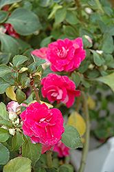 Fiesta Rose Double Impatiens (Impatiens 'Fiesta Rose') at Canadale Nurseries