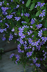 Whirlwind® Blue Fan Flower (Scaevola aemula 'Whirlwind Blue') at Canadale Nurseries
