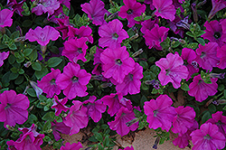 Wave Lavender Petunia (Petunia 'Wave Lavender') at Canadale Nurseries