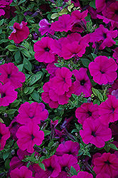 Wave Purple Petunia (Petunia 'Wave Purple') at Canadale Nurseries