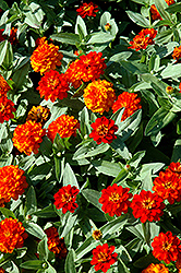 Profusion Double Fire Zinnia (Zinnia 'Profusion Double Fire') at Canadale Nurseries