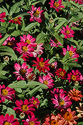 Profusion Cherry Zinnia (Zinnia 'Profusion Cherry') at Canadale Nurseries