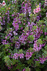 Serena Blue Angelonia (Angelonia angustifolia 'Serena Blue') at Canadale Nurseries