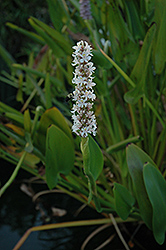 White Pickerelweed (Pontederia cordata 'Alba') at Canadale Nurseries