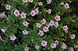 Superbells® Cherry Blossom Calibrachoa (Calibrachoa 'Superbells Cherry Blossom') at Canadale Nurseries