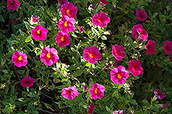 Superbells® Cherry Red Calibrachoa (Calibrachoa 'Superbells Cherry Red') at Canadale Nurseries