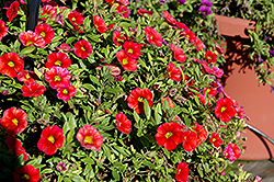 Aloha Fire Calibrachoa (Calibrachoa 'Aloha Fire') at Canadale Nurseries