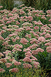 Autumn Joy Stonecrop (Sedum 'Autumn Joy') at Canadale Nurseries