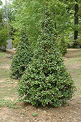 Castle Spire® Meserve Holly (Ilex x meserveae 'Hachfee') at Canadale Nurseries