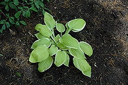 St. Elmo's Fire Hosta (Hosta 'St. Elmo's Fire') at Canadale Nurseries