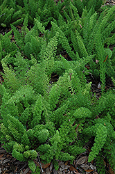 Myers Foxtail Fern (Asparagus densiflorus 'Myers') at Canadale Nurseries