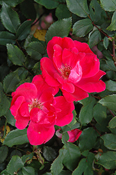 Red Knock Out® Rose (Rosa 'Red Knock Out') at Canadale Nurseries