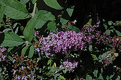 Lo And Behold® Lilac Chip Dwarf Butterfly Bush (Buddleia 'Lo And Behold Lilac Chip') at Canadale Nurseries