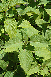 Ginger Mint (Mentha x gracilis) at Canadale Nurseries