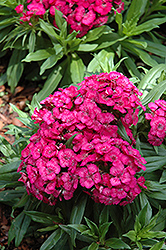 Barbarini Rose Sweet William (Dianthus barbatus 'Barbarini Rose') at Canadale Nurseries