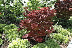 Adrians Compact Japanese Maple (Acer palmatum 'Adrian's Compact') at Canadale Nurseries
