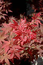Ruby Stars Japanese Maple (Acer palmatum 'Ruby Stars') at Canadale Nurseries