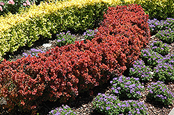 Royal Burgundy Japanese Barberry (Berberis thunbergii 'Gentry') at Canadale Nurseries