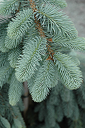 The Blues Colorado Blue Spruce (Picea pungens 'The Blues') at Canadale Nurseries