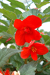 Illumination® Orange Begonia (Begonia 'Illumination Orange') at Canadale Nurseries