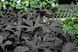 Blackie Sweet Potato Vine (Ipomoea batatas 'Blackie') at Canadale Nurseries