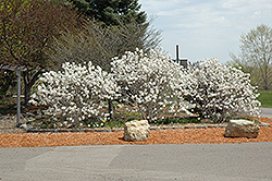 Royal Star Magnolia (Magnolia stellata 'Royal Star') at Canadale Nurseries