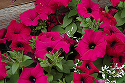 Supertunia® Royal Magenta™ Petunia (Petunia 'Supertunia Royal Magenta') at Canadale Nurseries
